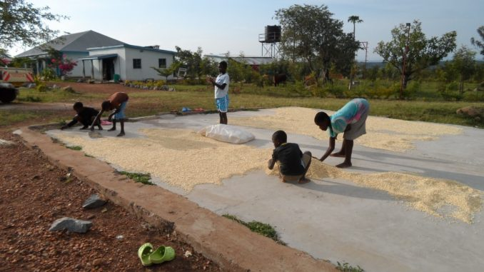 Kinder des Kadem-Kinderheims beim Trocknen von Mais